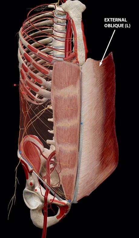 ab-muscles-external-oblique