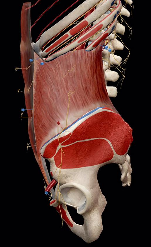ab-muscles-internal-oblique