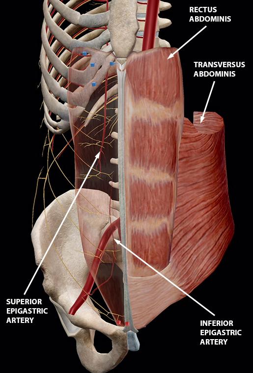 ab-muscles-rectus-abdominis