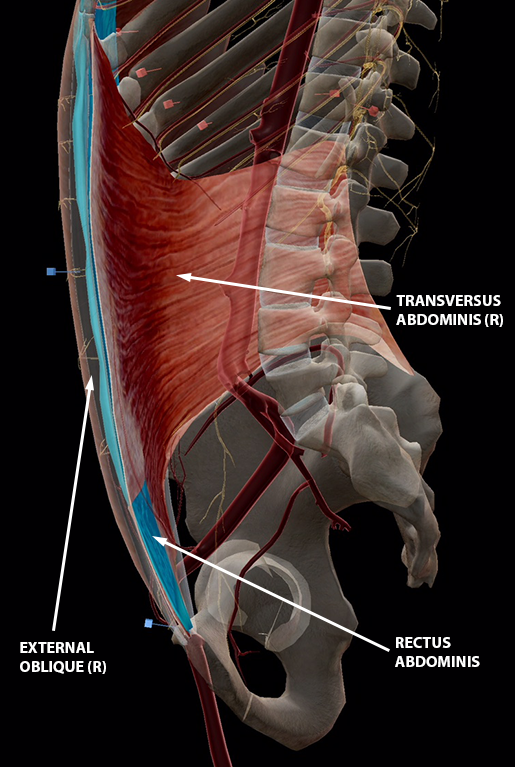 The Rectus Abdominis and Friends: An Intro to the Ab Muscles