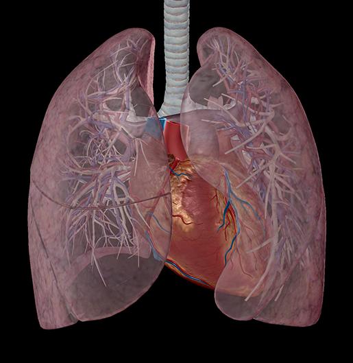 respiration-relationships-lung-vasculature-3