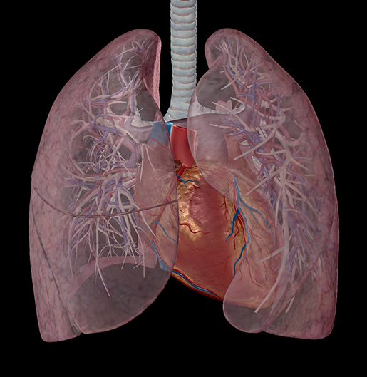 respiration-relationships-lung-vasculature-3