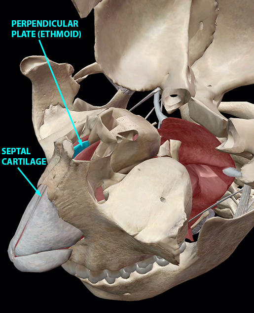 respiratory-relationships-ethmoid-perpendicular-plate