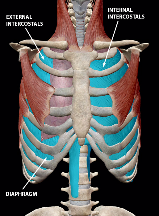 respiratory-relationships-inhalation-muscles