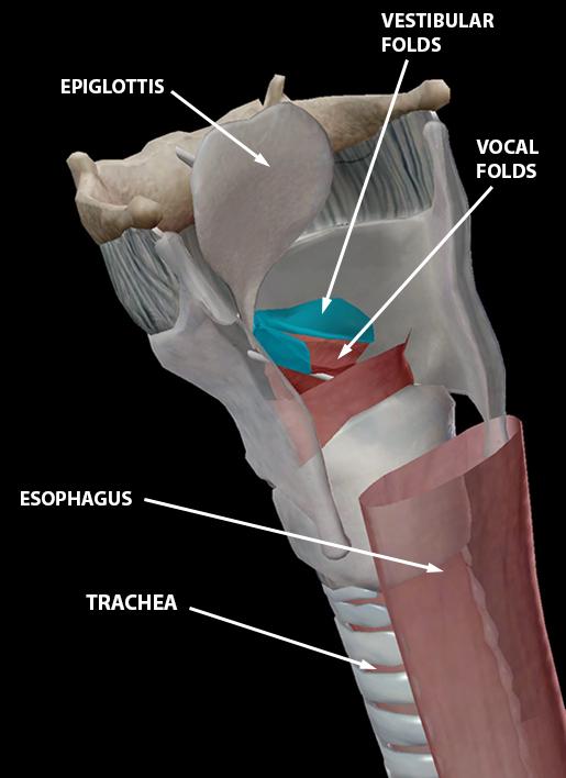 respiratory-relationships-laryngeal-skeleton