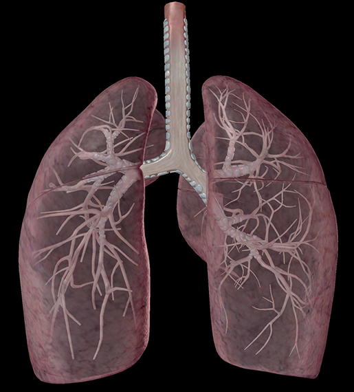 respiratory-relationships-lungs