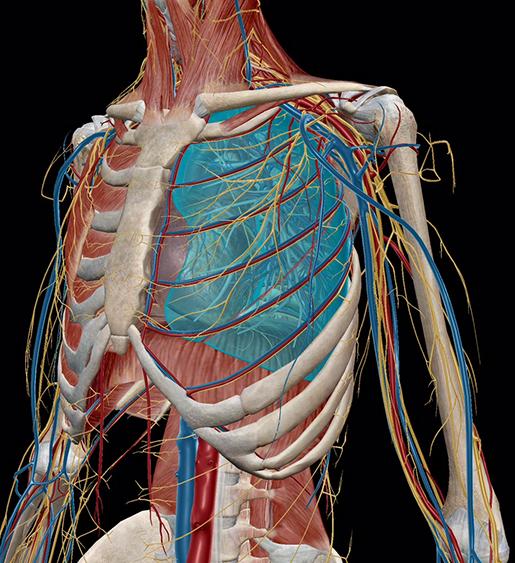 respiratory-relationships-muscular-skeletal-cardiovascular