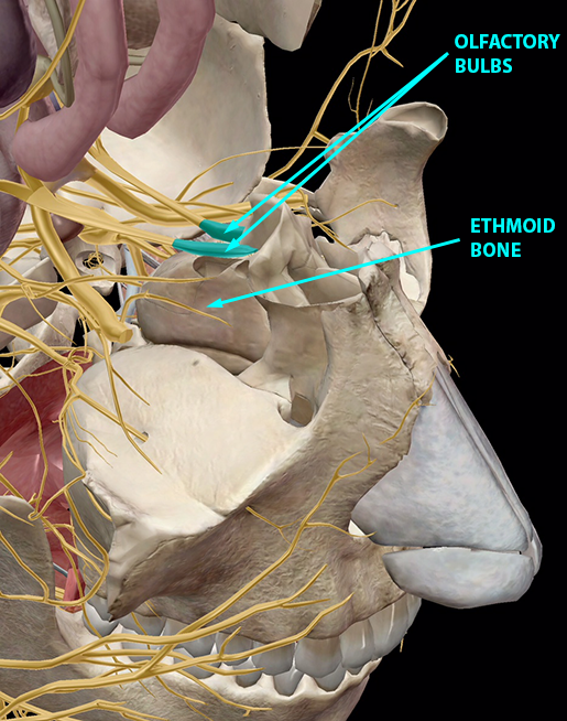 respiratory-relationships-nervous-system-ethmoid-bone