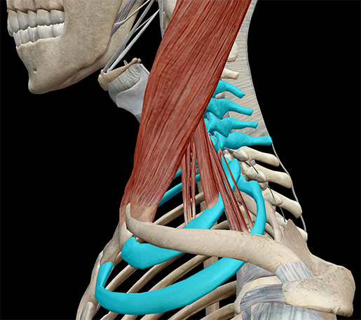 Scalenes-Muscles-Attachment-thoracic-cage