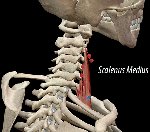 Learn Muscle Anatomy Scalene Muscles And Other Neck Anatomy