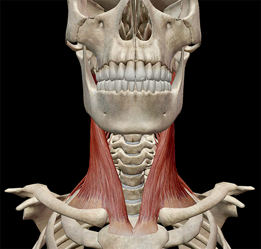 scalene-muscle-neck-front