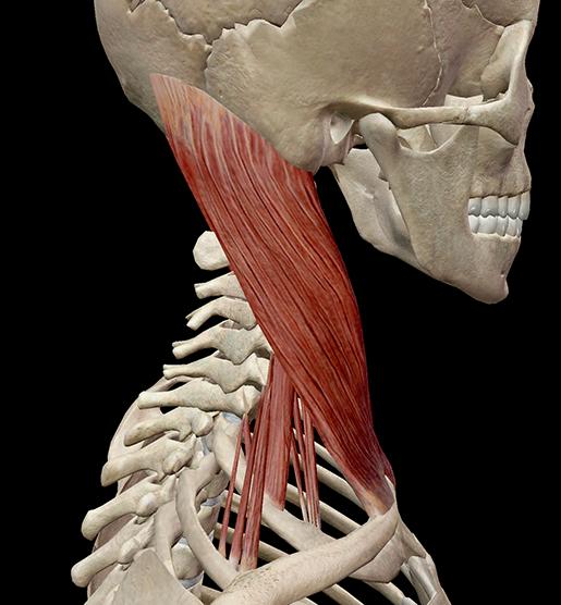 scalene-muscle-neck-profile-side