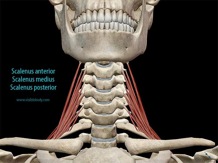 Scalenus-anterior-posterior-medius-muscles.png