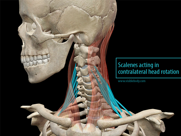 Scalenus muscles acting in contralateral neck flexion.