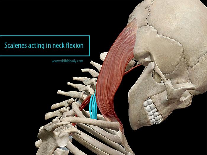 Scalenes acting in neck flexion