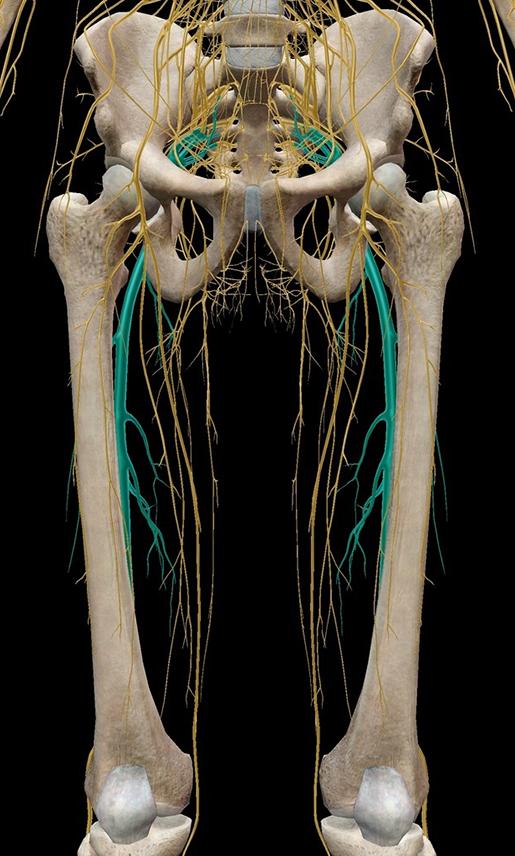 sciatica-sciatic-nerve-in-context