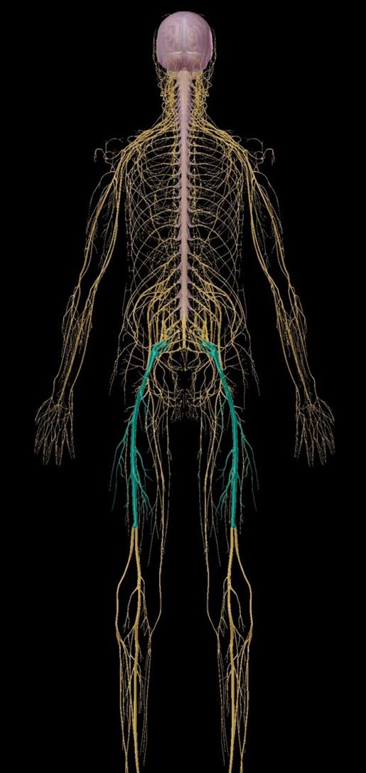 sciatica-sciatic-nerve-with-nervous-system