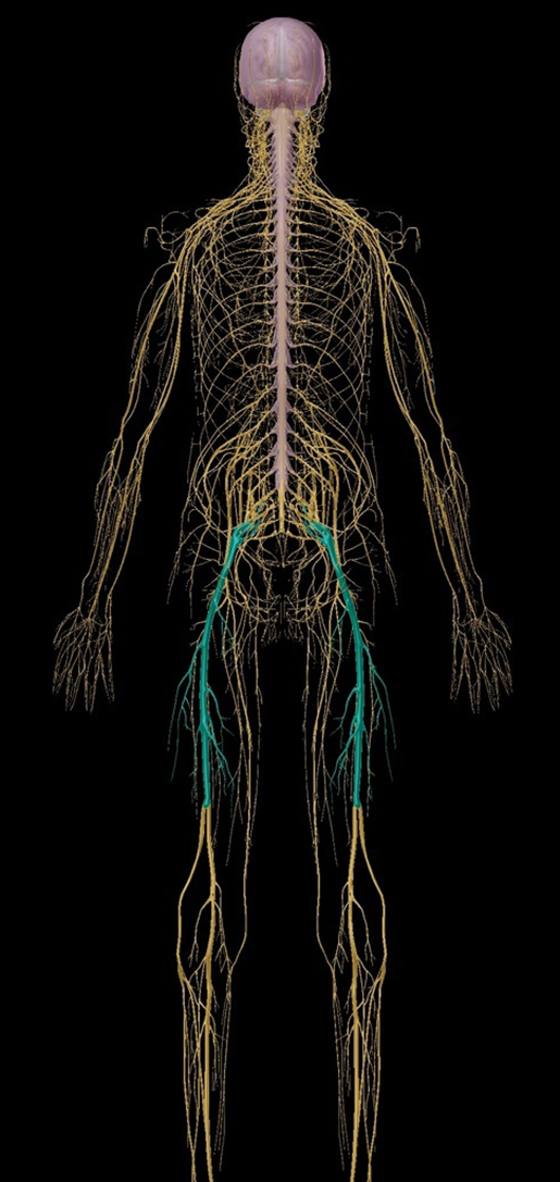 A Real Pain in the Butt: The Anatomy and Pathology of Sciatica