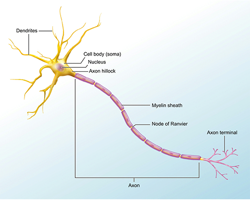 neuron-structure-1