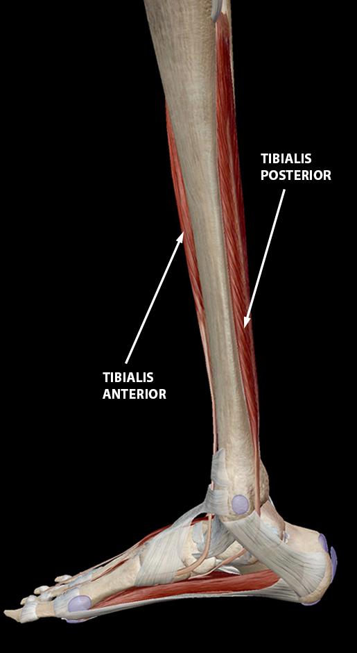 shin-splints-tibialis-anterior-posterior