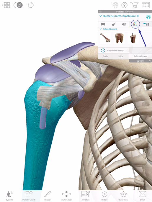 shoulder-lesson-plan-humerus-highlighted