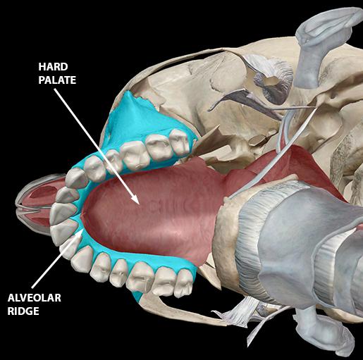 speech-articulation-alveolar-ridge-hard-palate