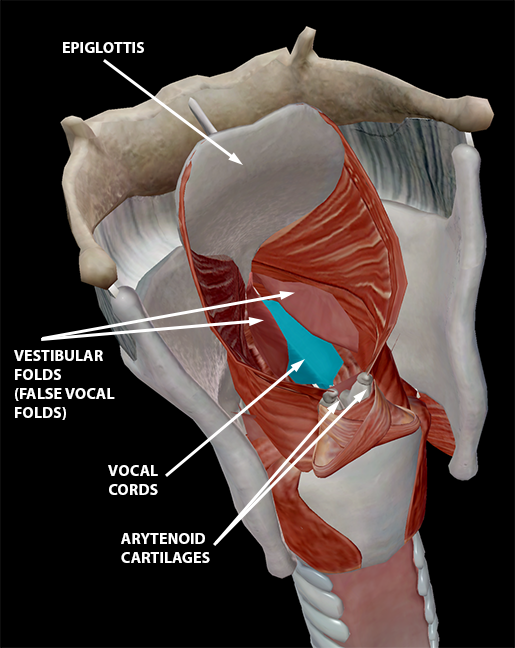 speech-articulation-larynx-muscles-and-vocal-folds