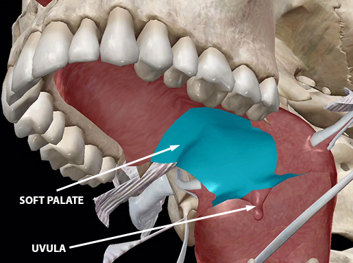 speech-articulation-velum-soft-palate