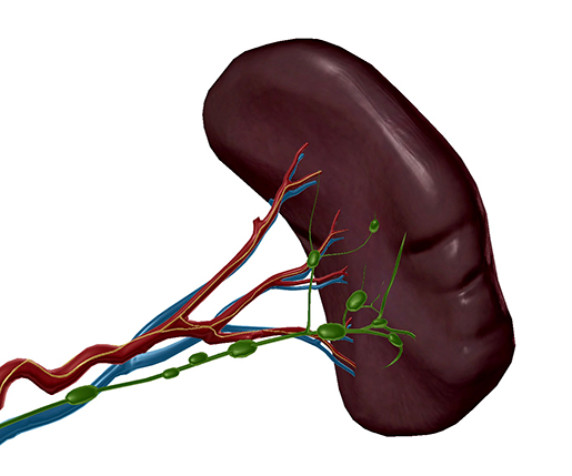 spleen-blood-supply-innervation-lymph-nodes