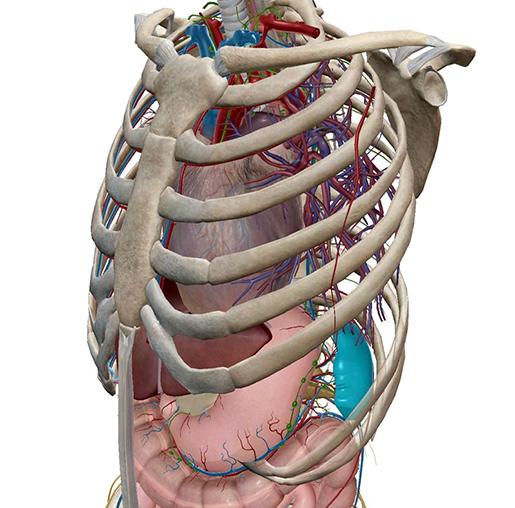 spleen-in-context-abdomen