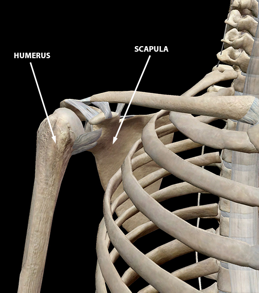sports-injuries-shoulder-bones-connective-tissue-top-of-humerus