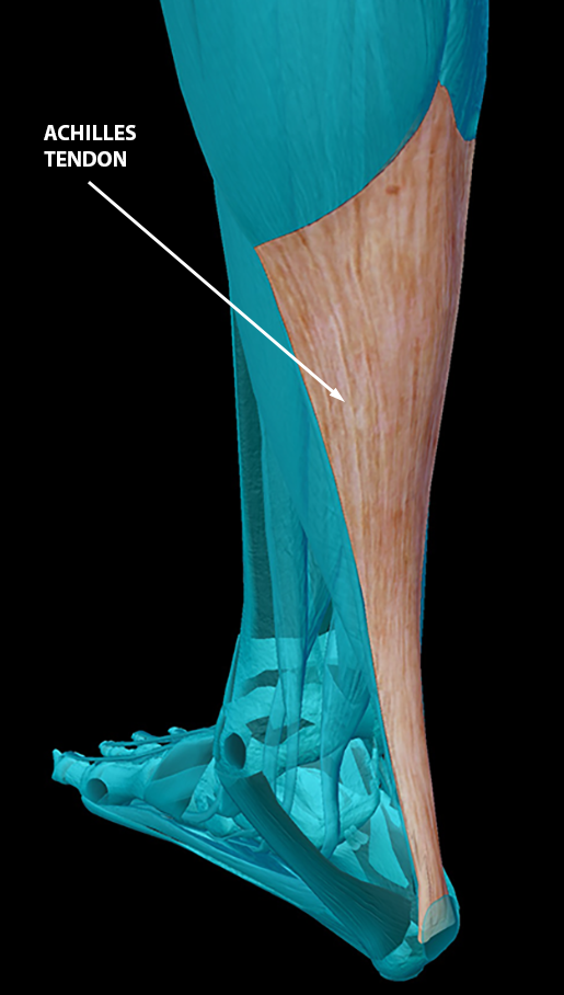 body-part-terminology-etymology-achilles-tendon-2