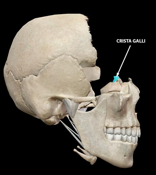 body-part-terminology-etymology-crista-galli