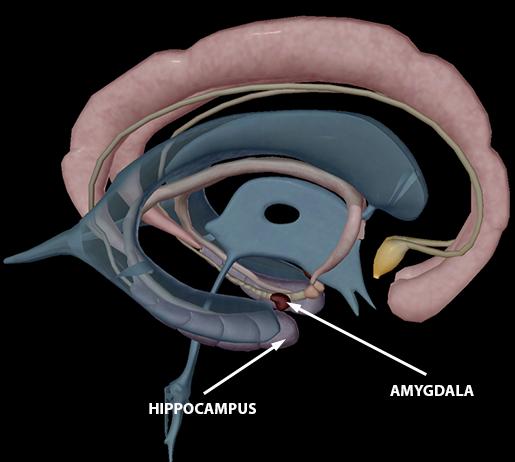 body-part-terminology-etymology-hippocampus-and-amygdala