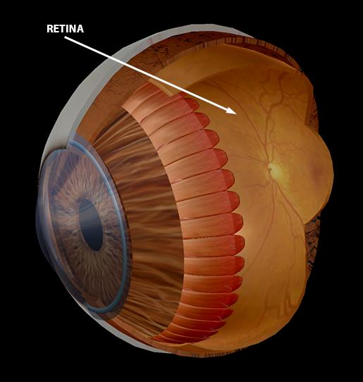 body-part-terminology-etymology-retina-2