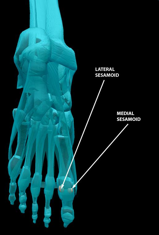 body-part-terminology-etymology-sesamoid-bones-3