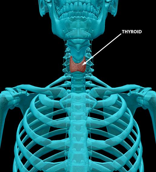 body-part-terminology-etymology-thyroid