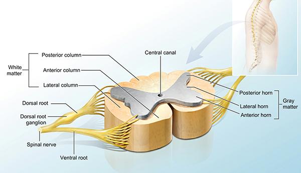 spine-section-illustration