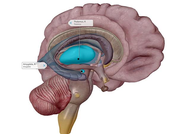 thalamus-and-amygdala-labeled