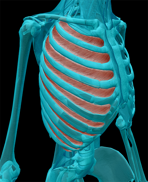 thoracic-structures-internal-intercostals
