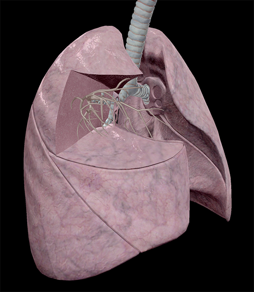 thoracic-structures-lung-segments