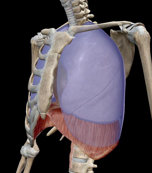 thoracic-structures-parietal-pleurae-in-context
