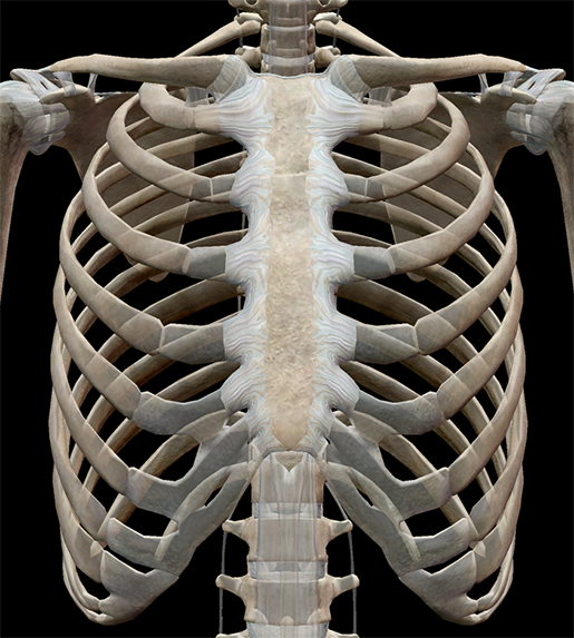 thoracic-structures-radiate-sternocostal-ligaments-2