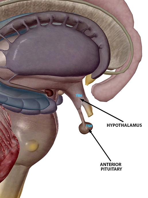 hypothalamus-pituitary-tsh