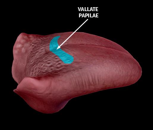 tongue-dorsum-vallate-papillae