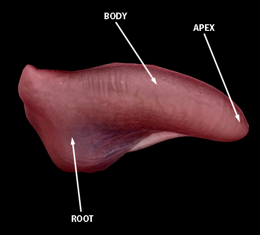 tongue-root-body-apex