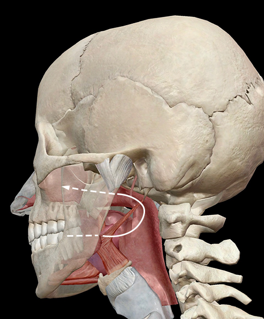 tongue-taste-smell-retronasal-pathway