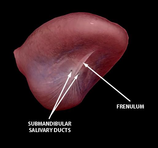tongue-underside-frenulum-salivary-ducts