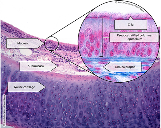 histology-trachea-section-zoomed