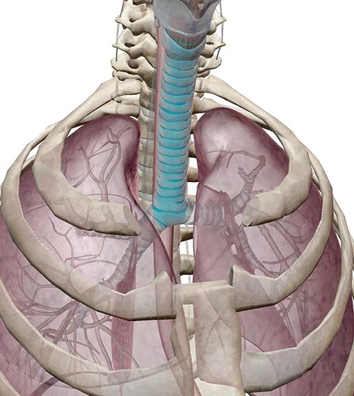 trachea-in-context